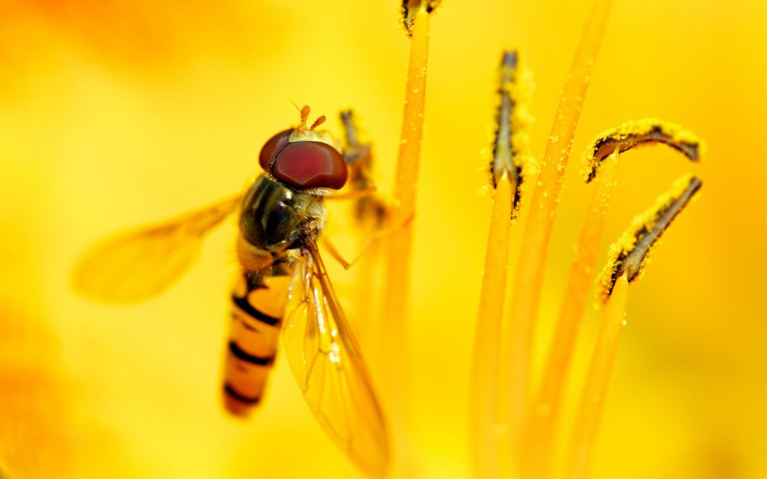 Syrphid feast wallpaper