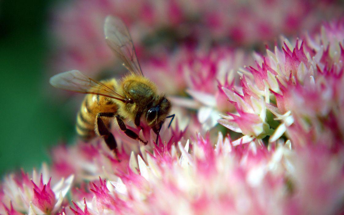Bee on autumn joy wallpaper