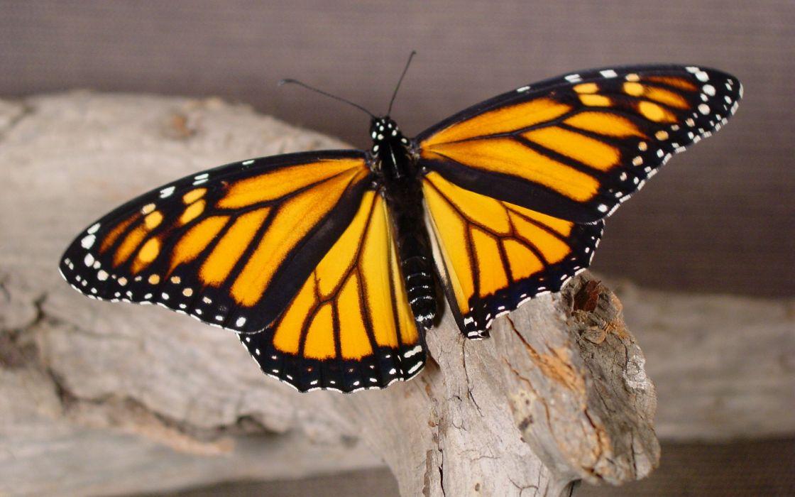 Butterfly repose wallpaper
