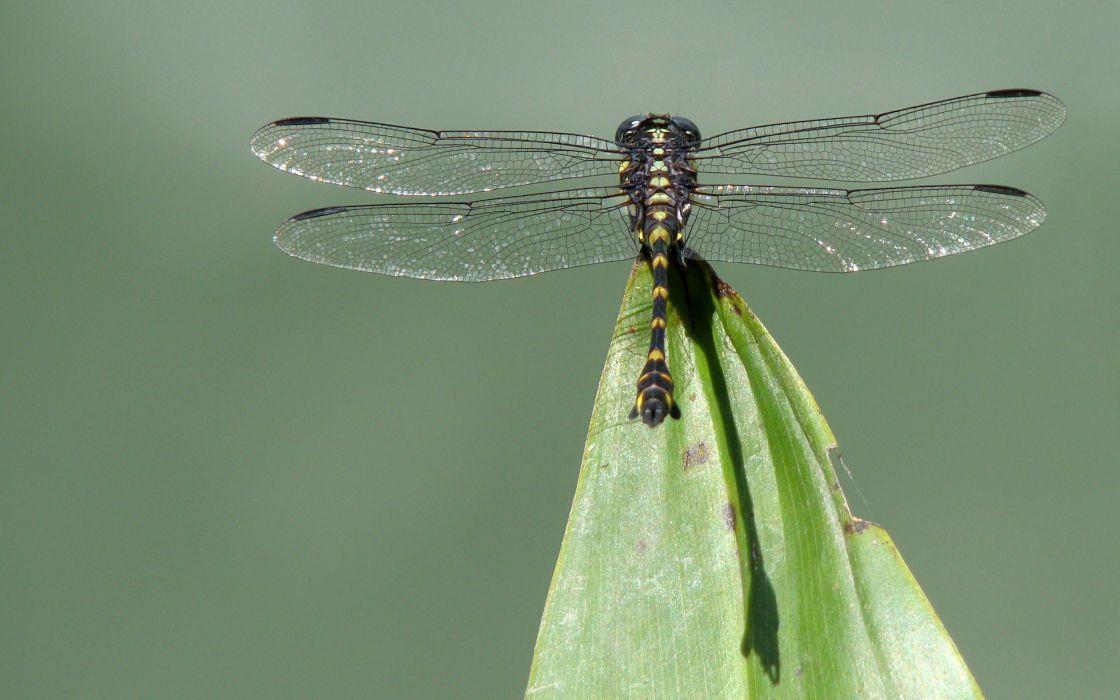 Dragonfly commander wallpaper