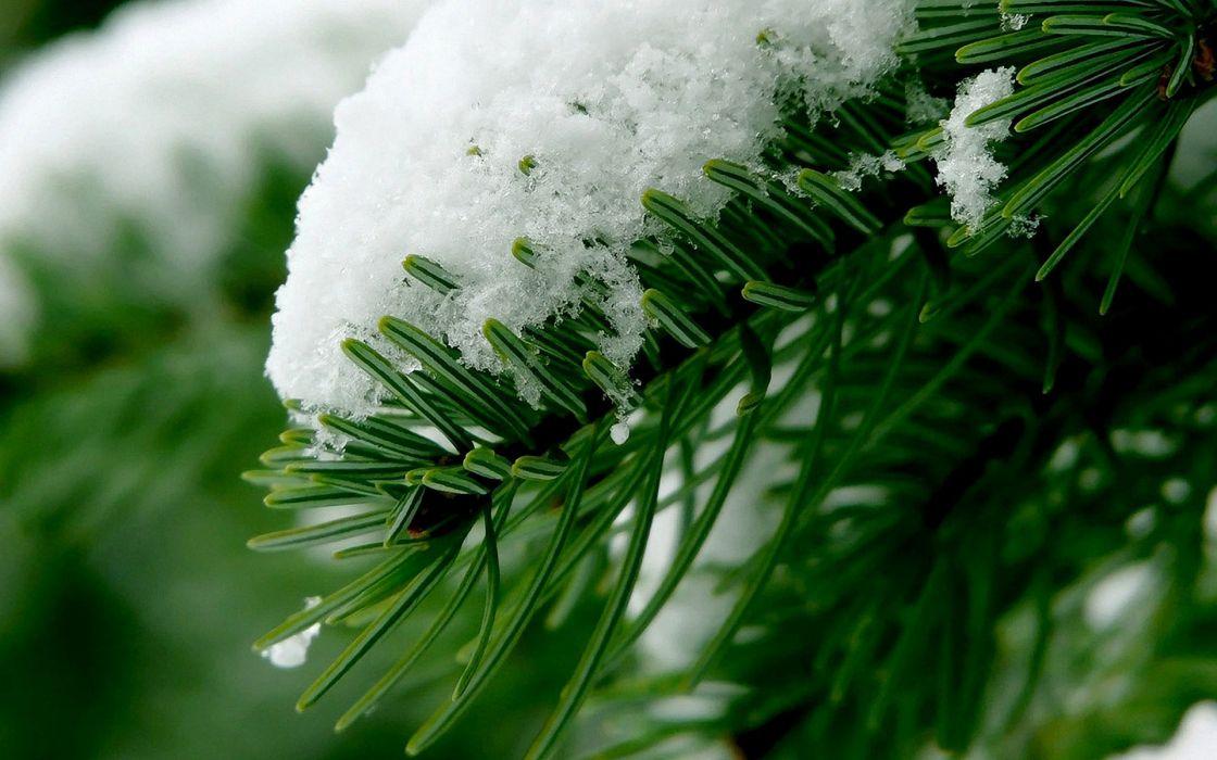 Snow over pine tree wallpaper