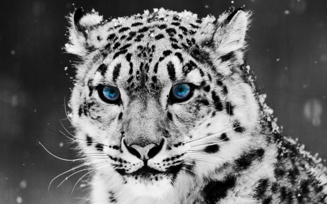 Tiger glacial eyes wallpaper