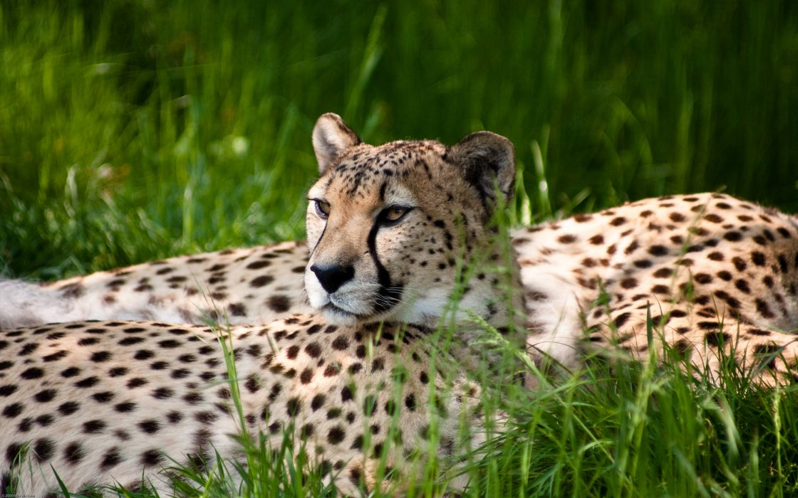 Cheetah beauty wallpaper