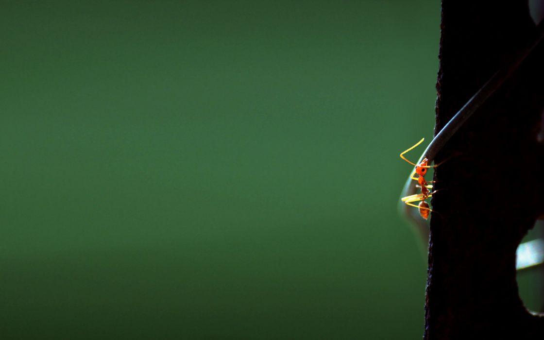 Fire ant wallpaper