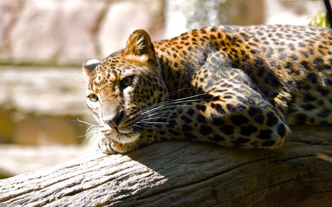 Lazing leopard wallpaper