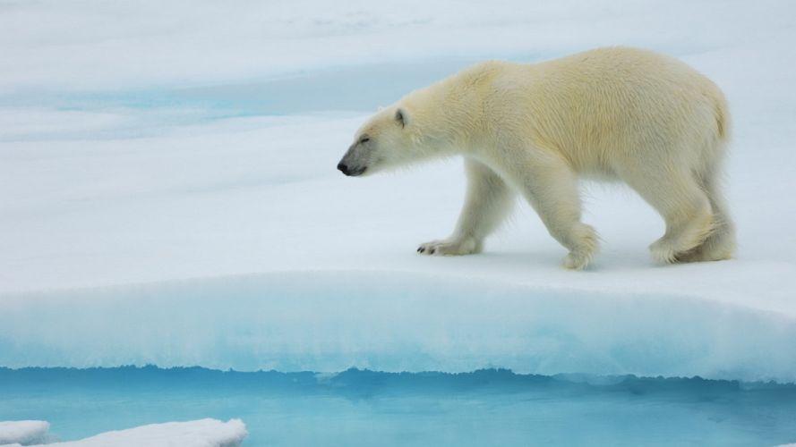 Lonly polar bear wallpaper