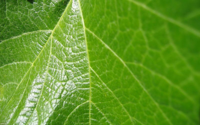 Grape leaf wallpaper