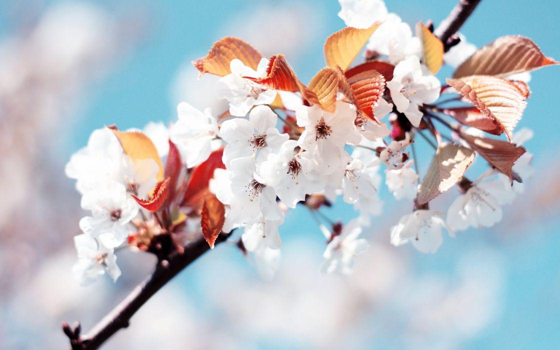Cherry flowers wallpaper