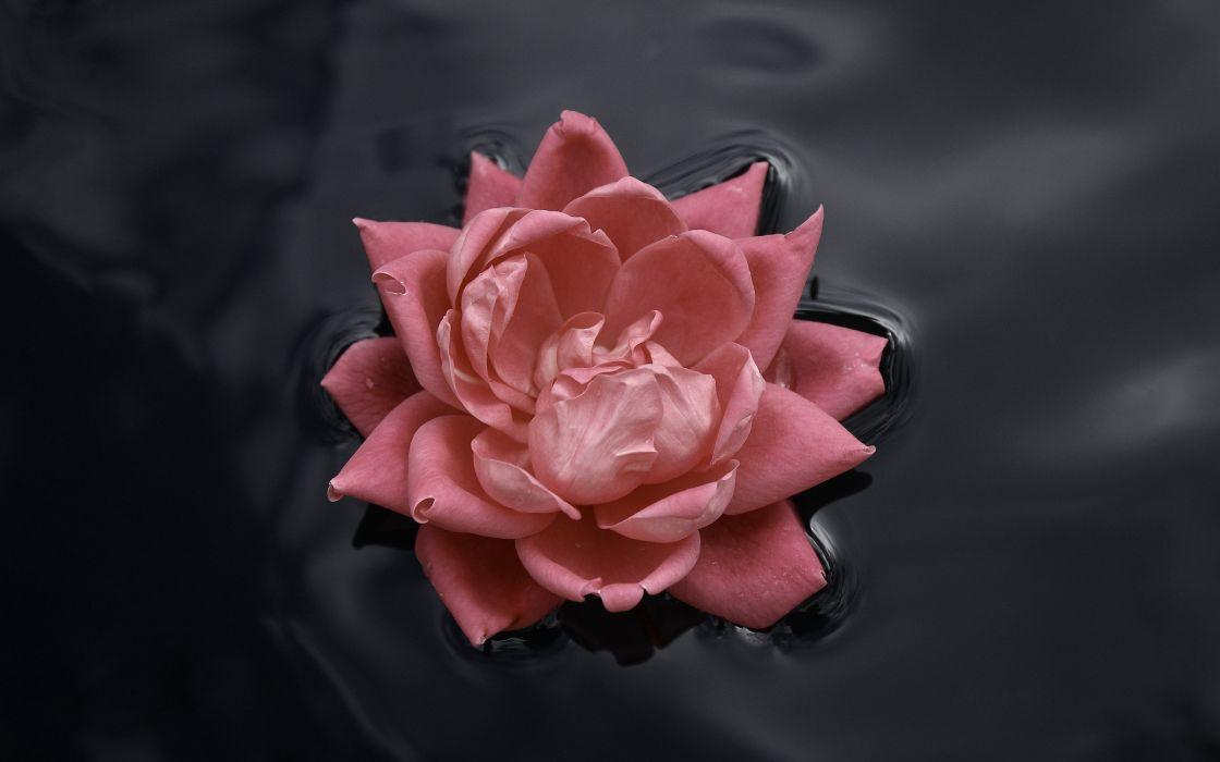 Lone rose wallpaper