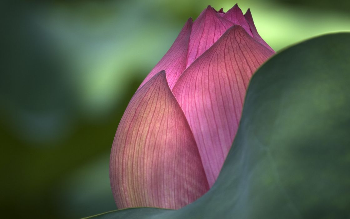 Pink lotus flower wallpaper