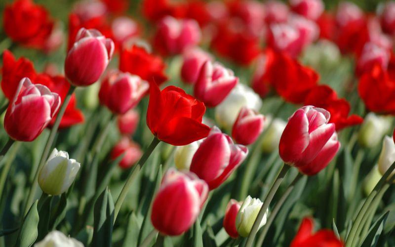 Tulips in spring wallpaper
