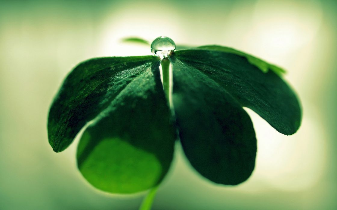 Green trefoil wallpaper