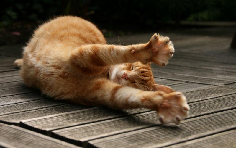 Big cat stretching wallpaper