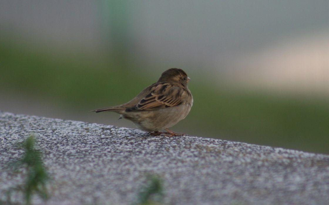 Little sparrow wallpaper