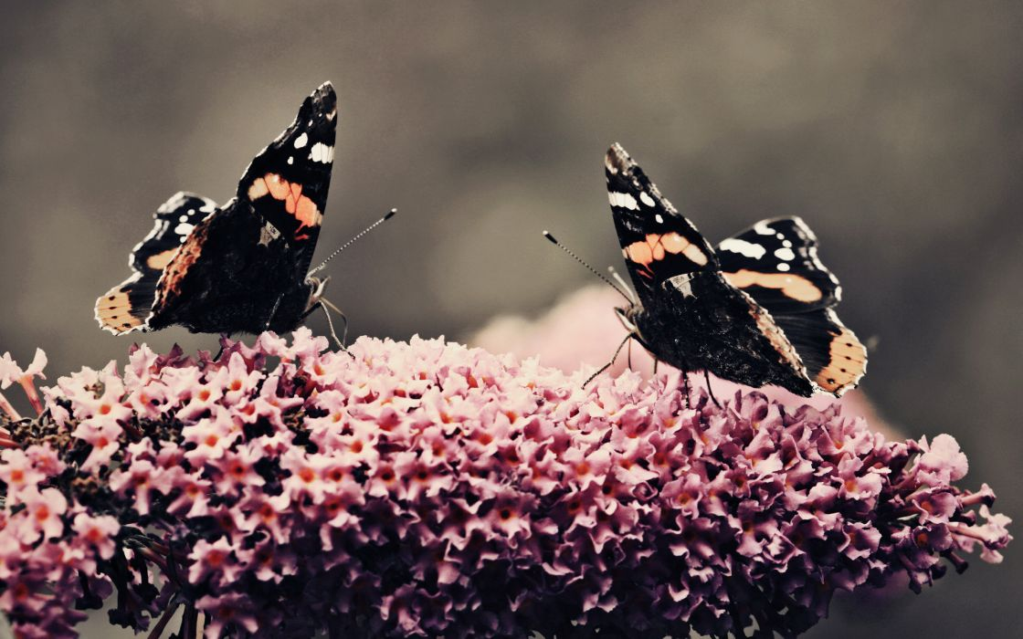 Two butterflies at work wallpaper