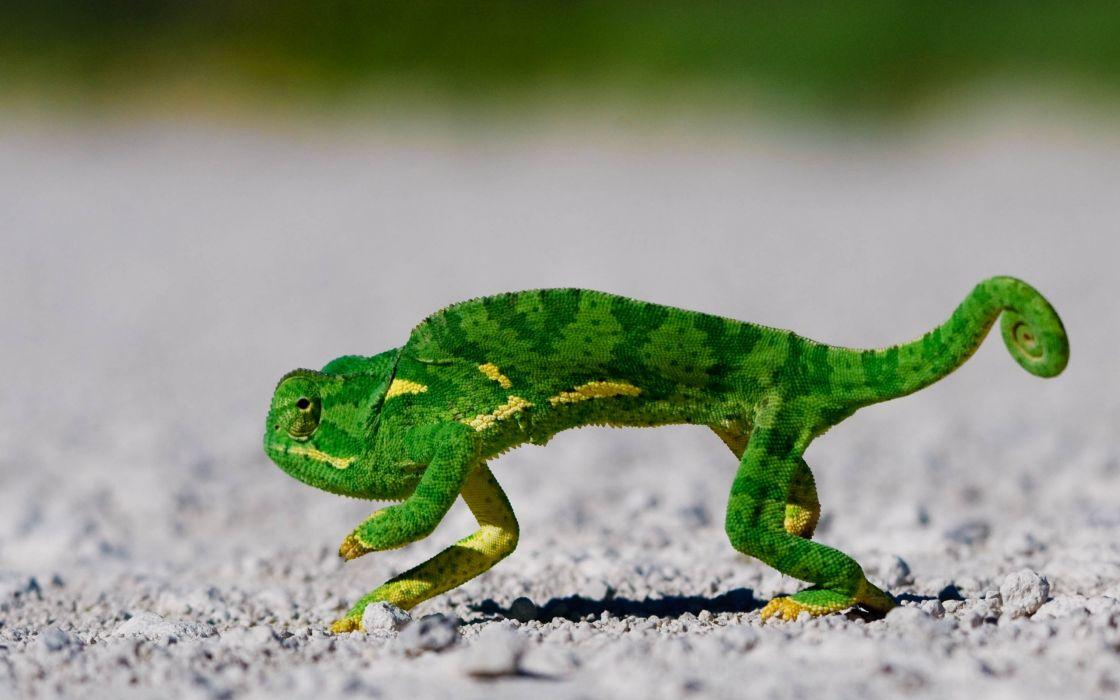 Dancing lizard wallpaper