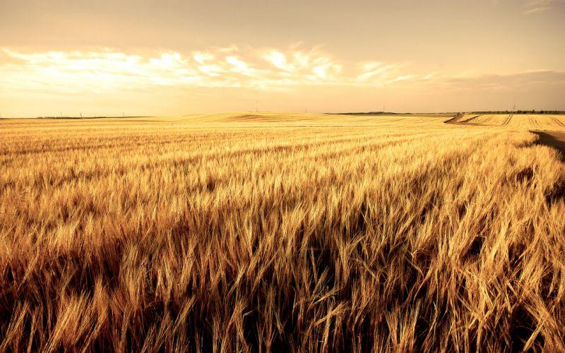 Wheat landscape wallpaper