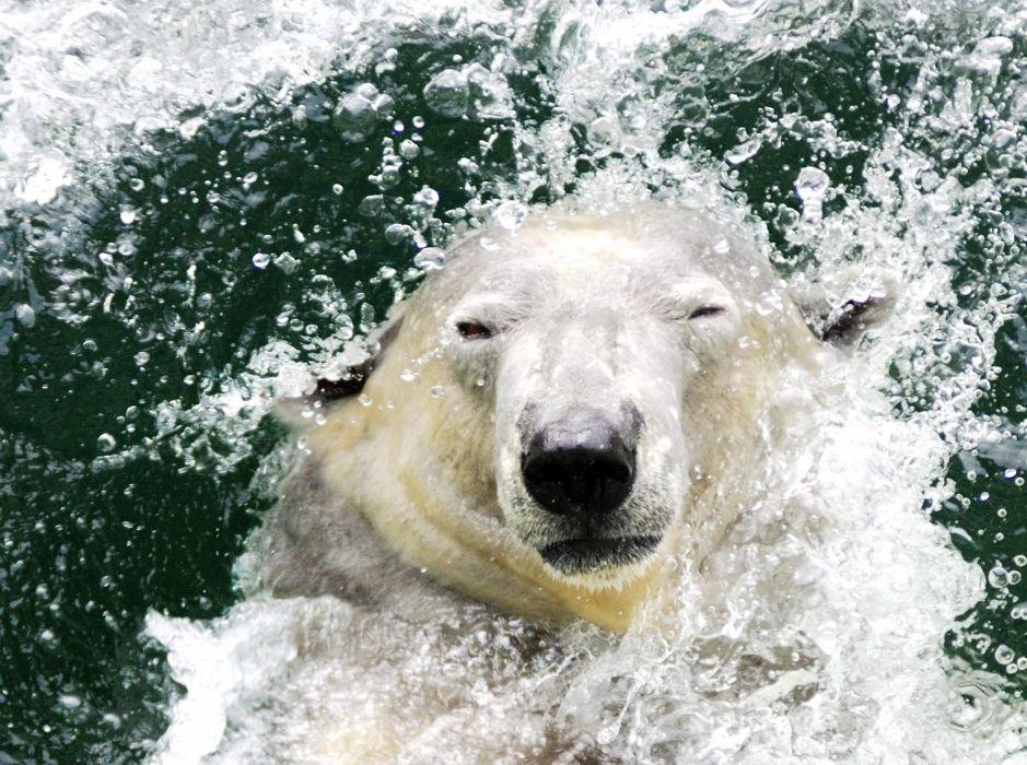 Fresh polar bear wallpaper