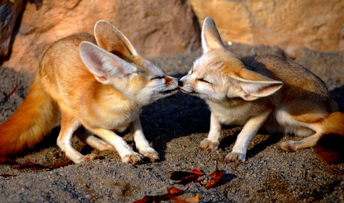Kiss between foxes wallpaper