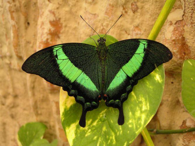 Green swallowtail wallpaper