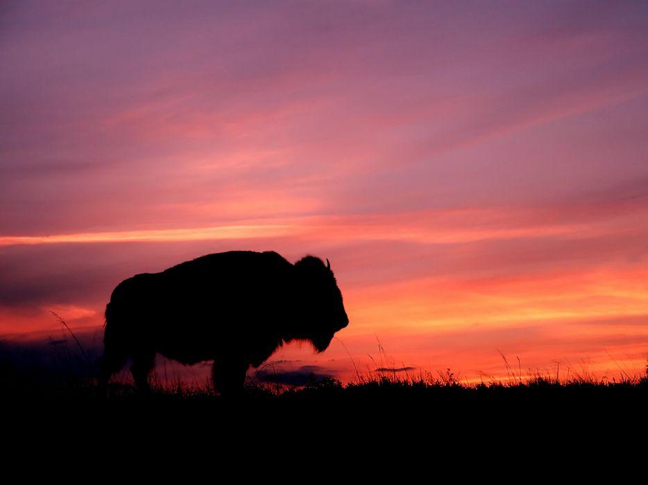 Buffalo at sunset wallpaper