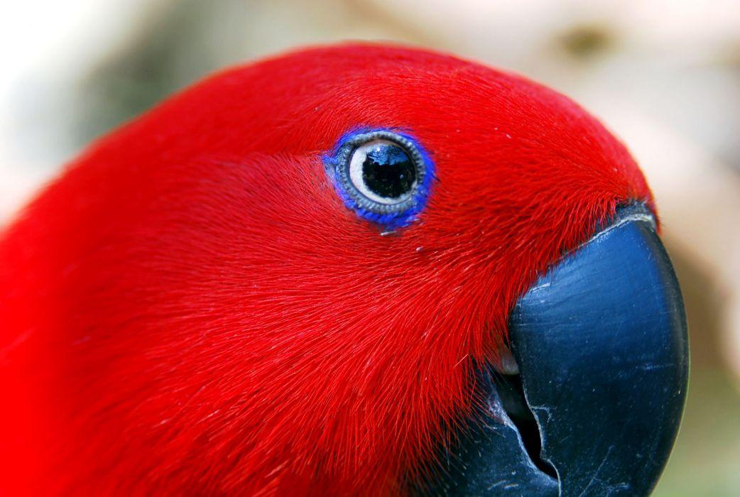 Red parrot wallpaper