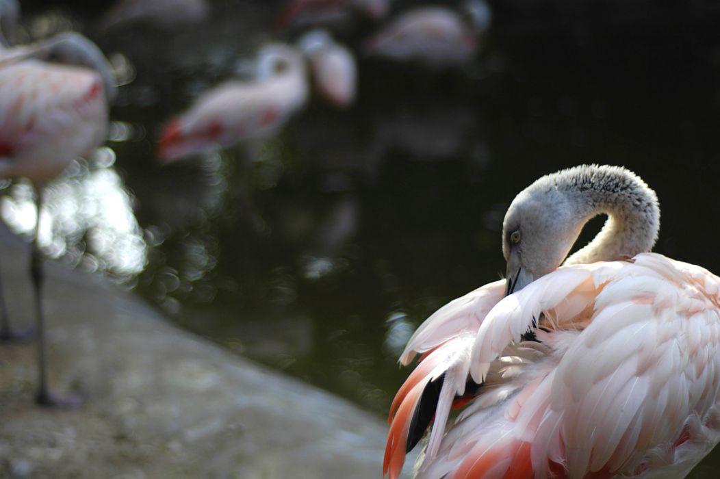 Shy flamingo wallpaper
