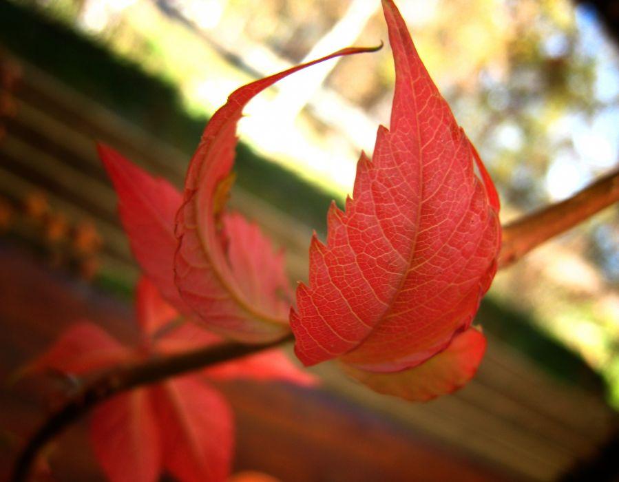 New autumn leaf wallpaper