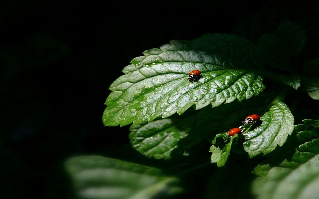 Three little ladybugs wallpaper