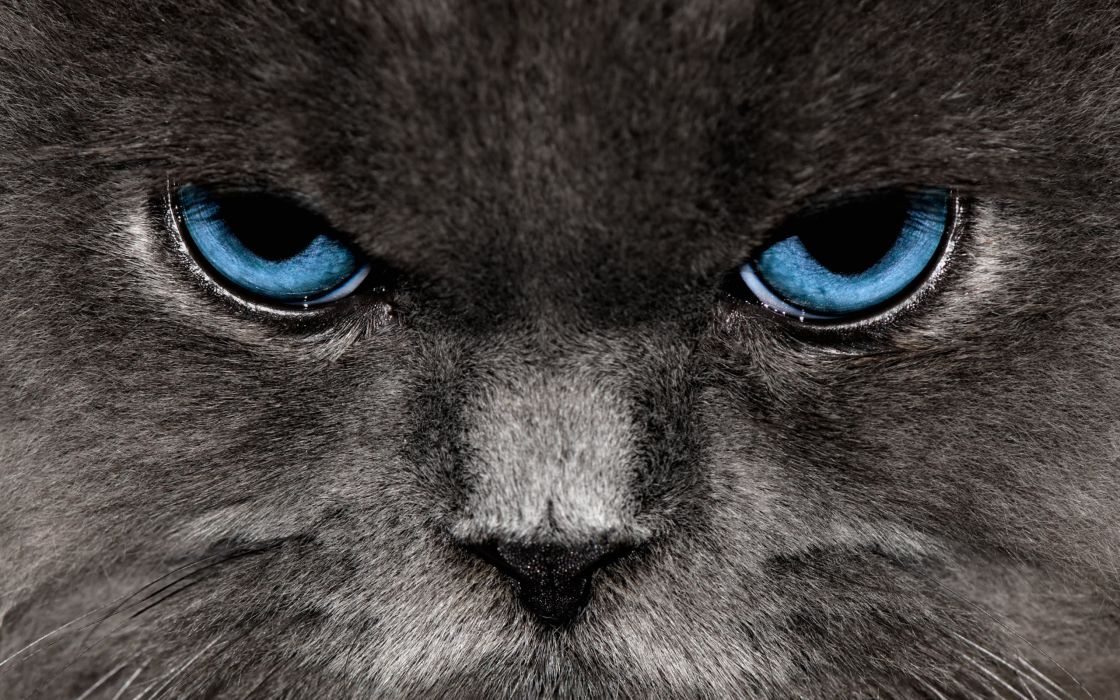 Angry cat wallpaper