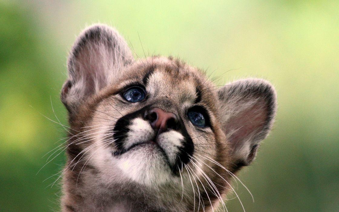 Cute lioness wallpaper