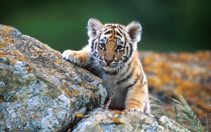 Tiger under reconnaissance wallpaper