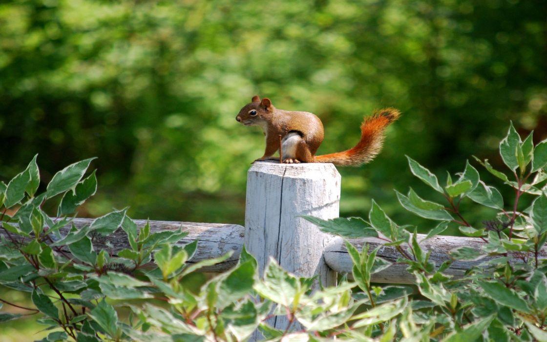 Pregnant squirrel wallpaper