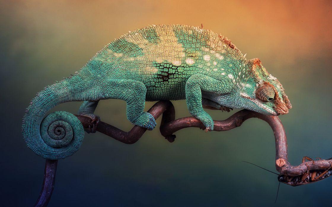 Chameleon tightrope wallpaper
