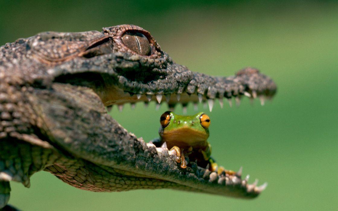 Crocodile vs frog wallpaper