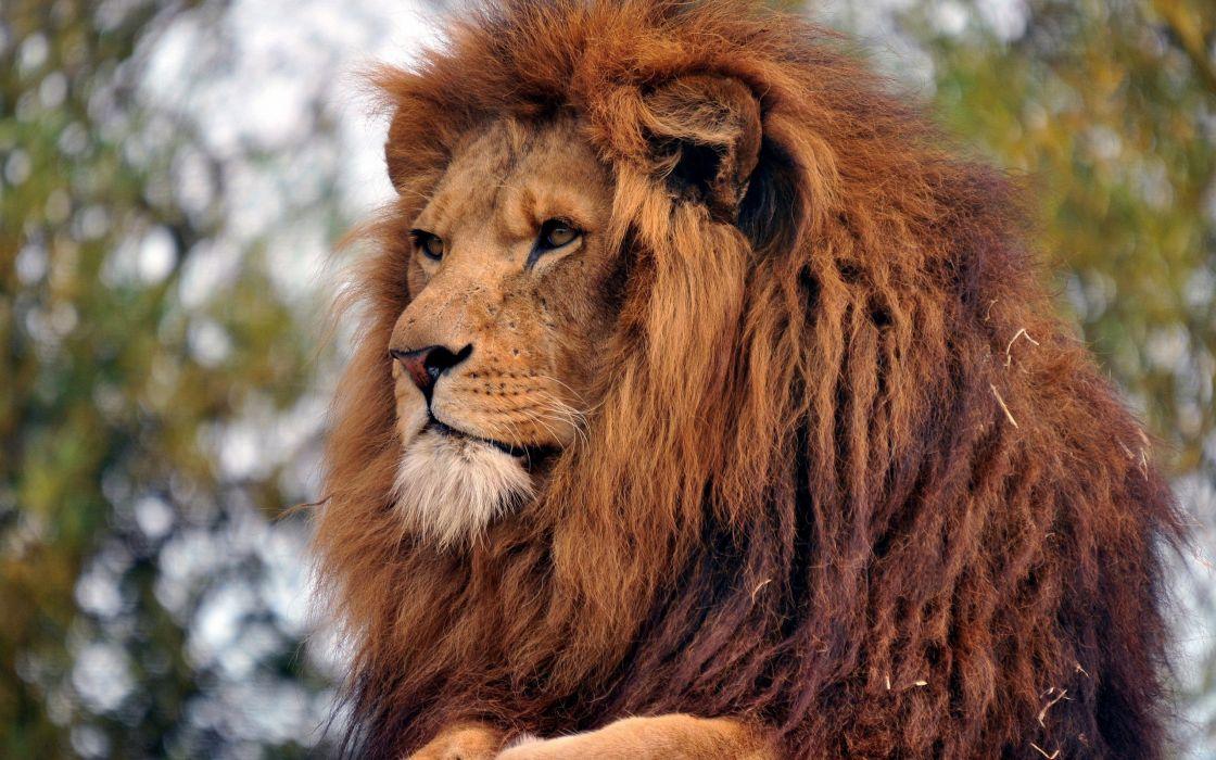 The real Simba lion wallpaper