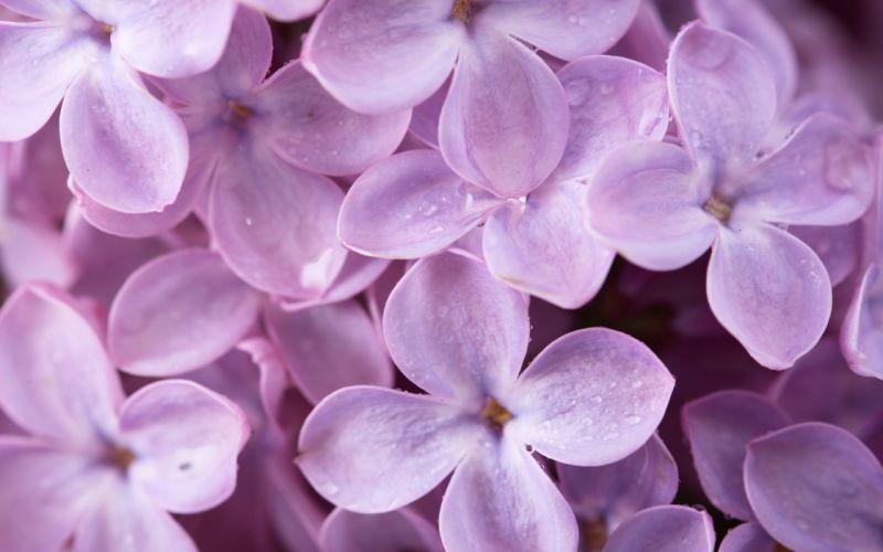 Lilac petals wallpaper