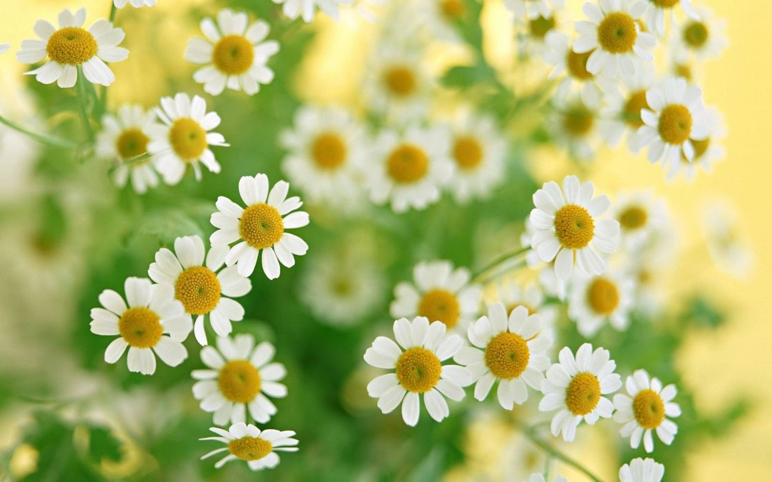 Bouquet of daisies wallpaper