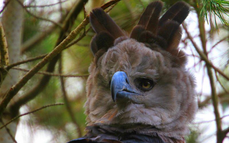 Harpy eagle wallpaper