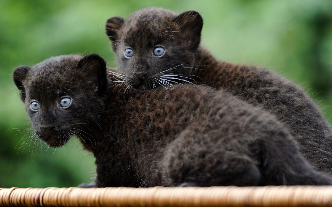 Black panthers wallpaper