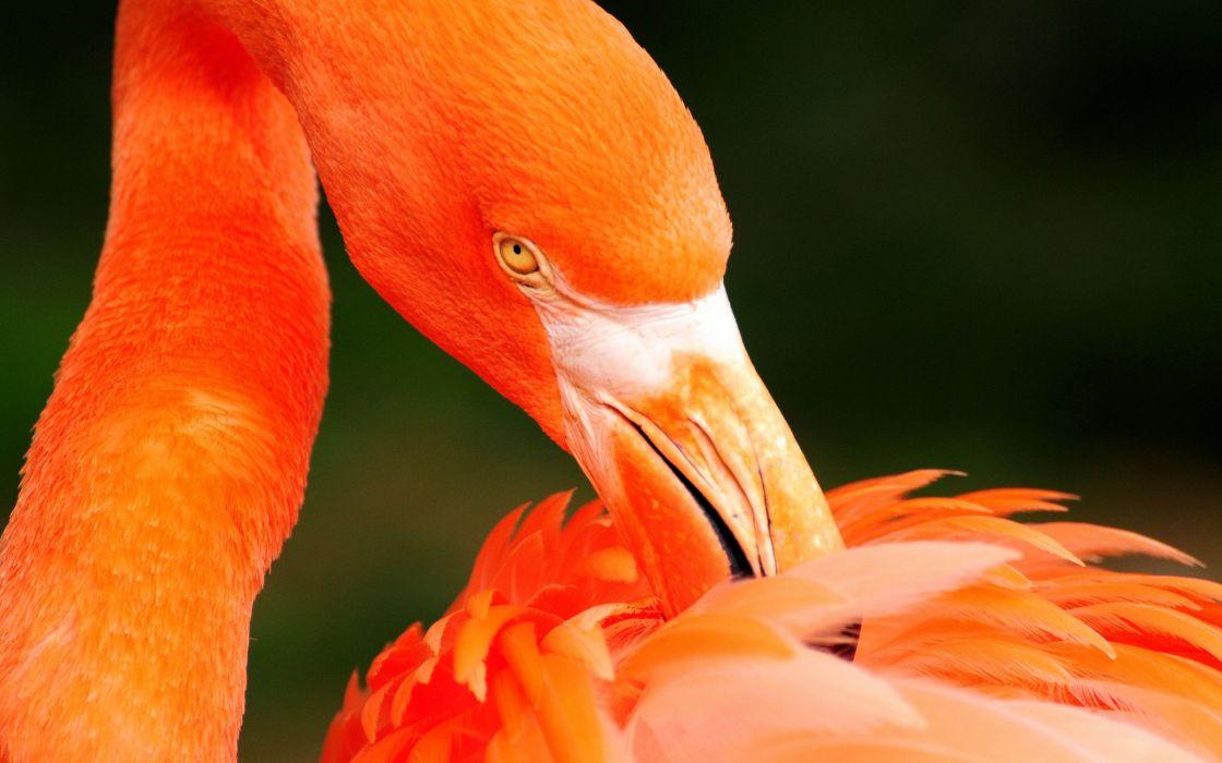 Orange flamingo wallpaper