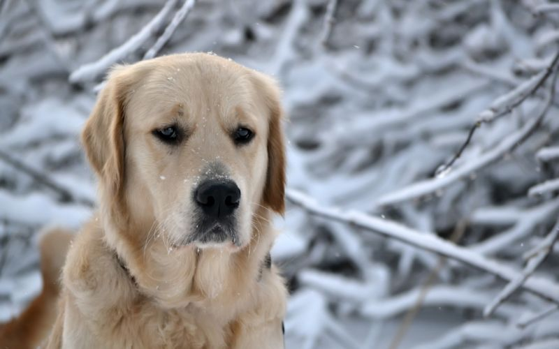 Labrador in winter wallpaper