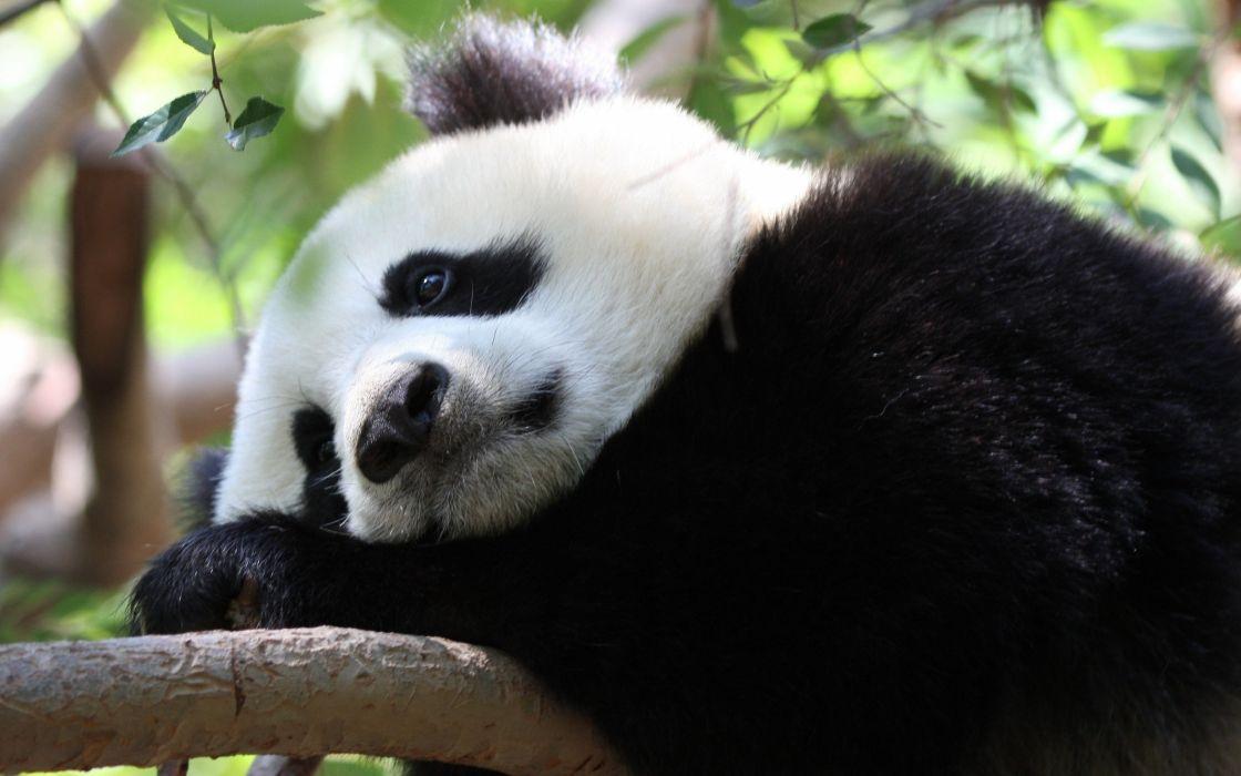 Bored panda wallpaper