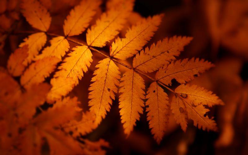 Brown autumn leaf wallpaper