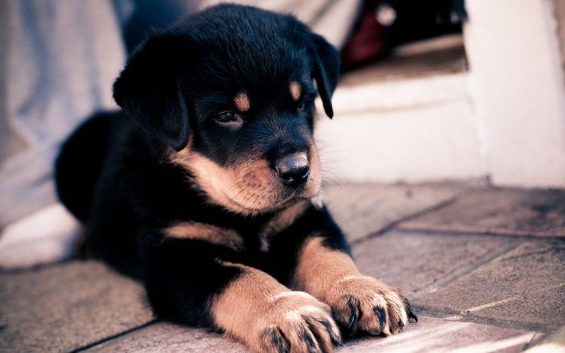 Rottweiler puppy wallpaper