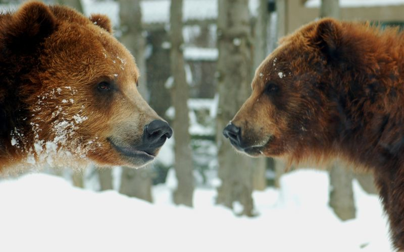 Two grizzly bears wallpaper