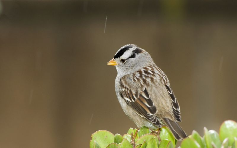 White crowned sparrow wallpaper