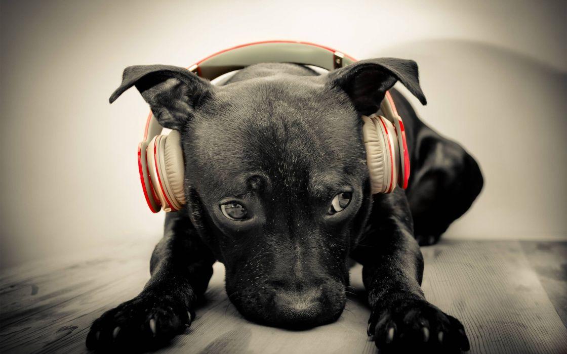 A dog with headphones wallpaper