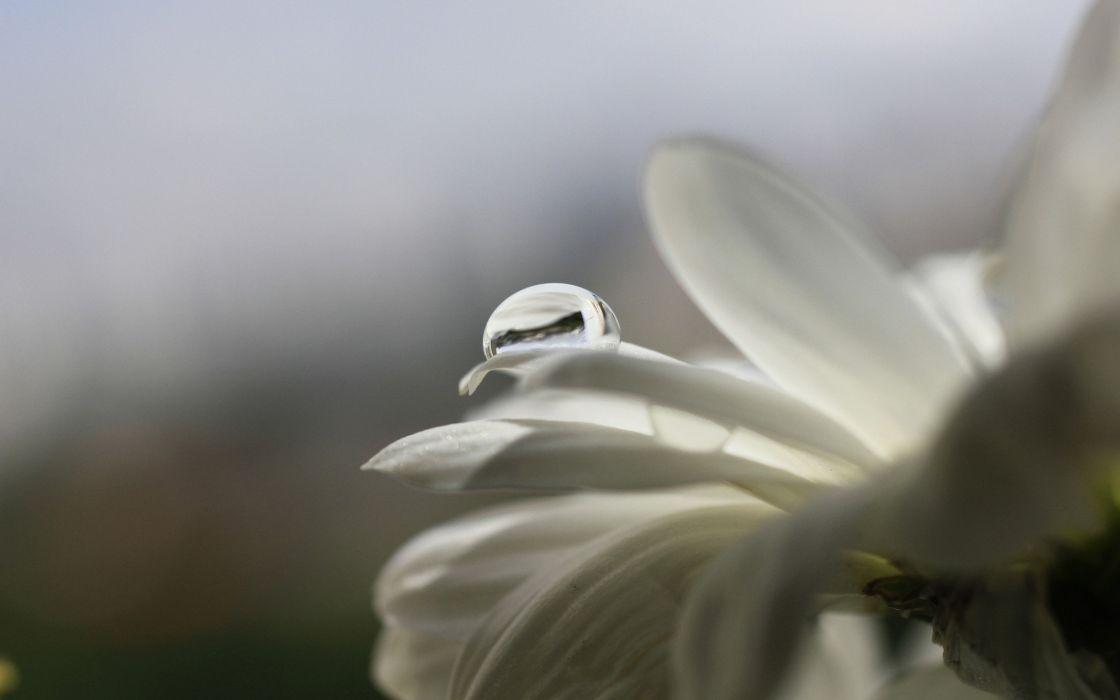 Drop on a white petal wallpaper
