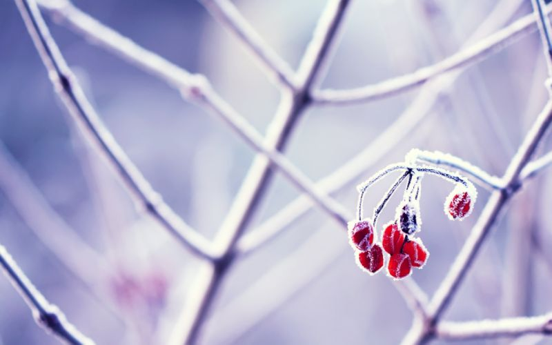 Frozen berries wallpaper